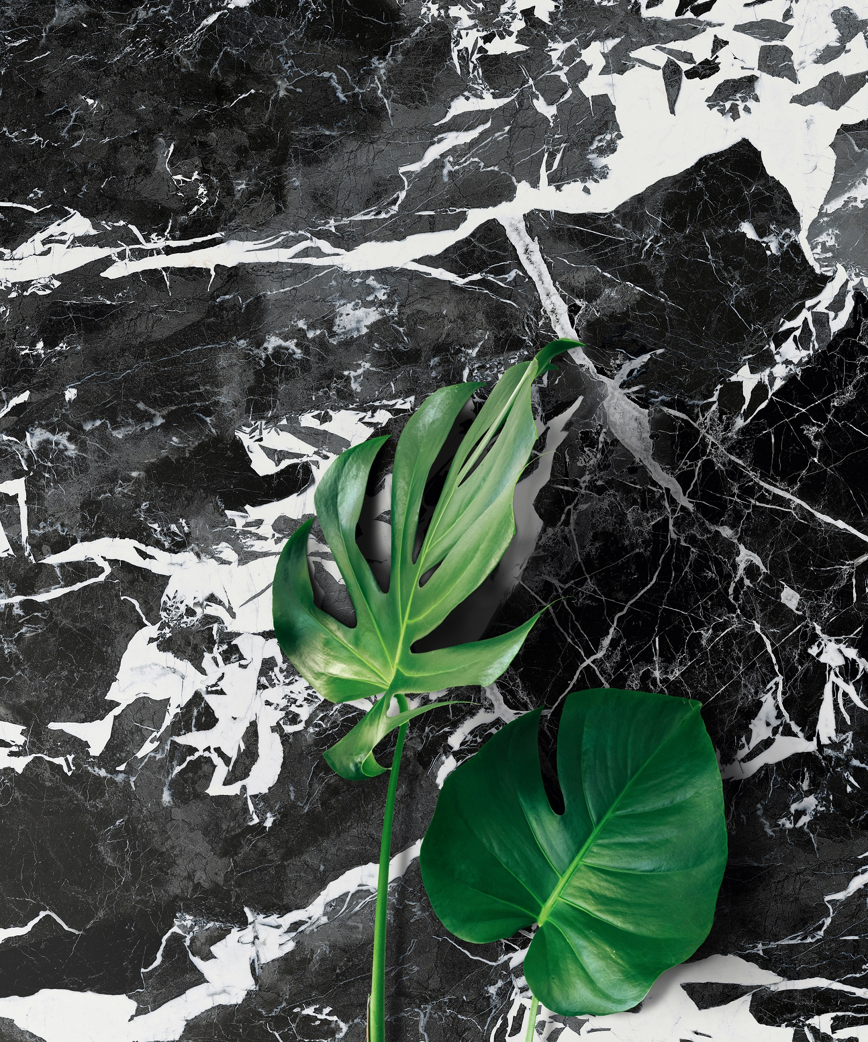Monstera Deliciosa Plant Against A White Wall - Vertical
